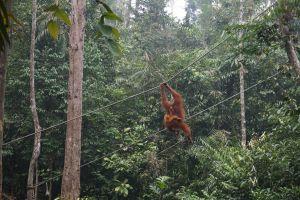 Orang Oetan met een jong